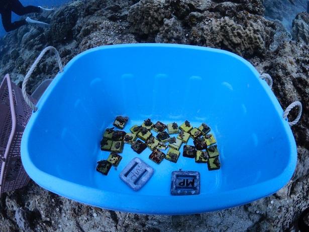 沖縄サンゴ植え付け_ジェイケーウェーブJK-Wave28